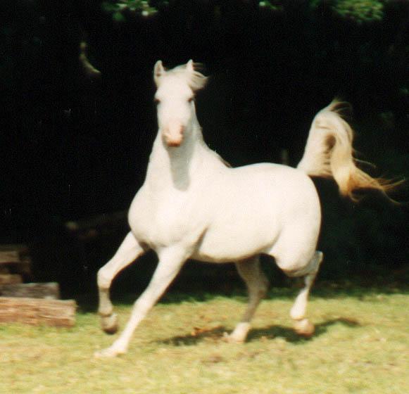 White Arabian Horses Running